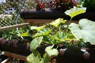 Squash hydroponic