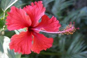 santa teresa flower