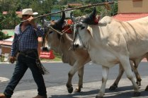 costa-rica-ox-cart-parade-atenas-4