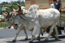 costa-rica-ox-cart-parade-atenas-6