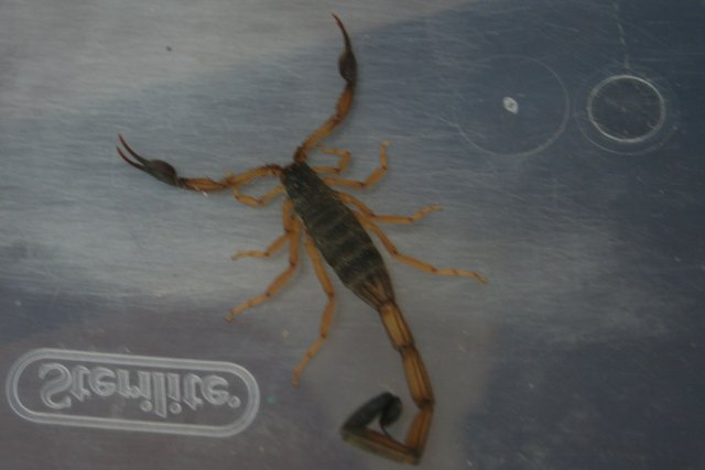 costa rica scorpion