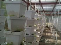 Costa Rica Organic Lettuce