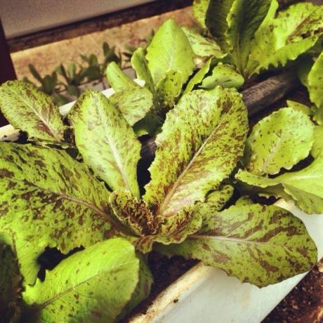 New Lettuce Greens