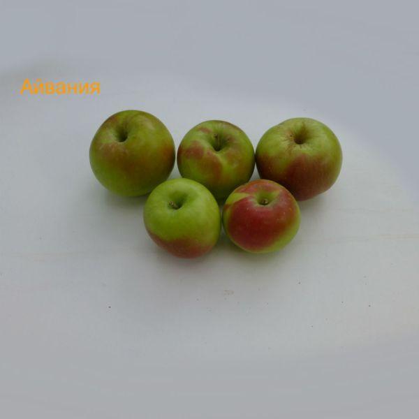 ябълки - Айвания