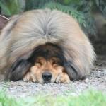 Tibetan Mastiff History Lore And Modern Living Pure Dog Talk