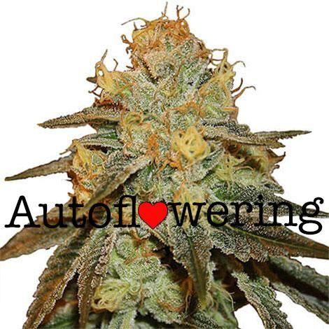 Bruce Banner Auto flower