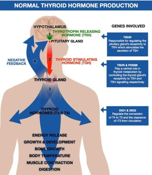 Thyroid genes