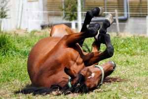 luizen paard natuurlijke oplossing