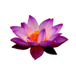 lotus-flower-for-pure-leaf-love