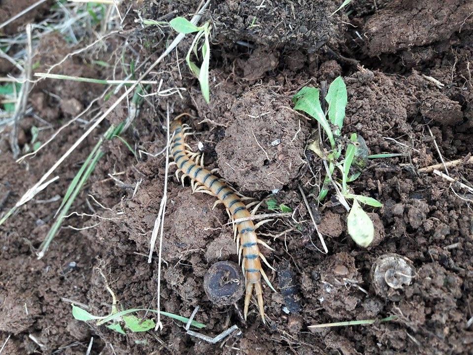 catalonia centipede