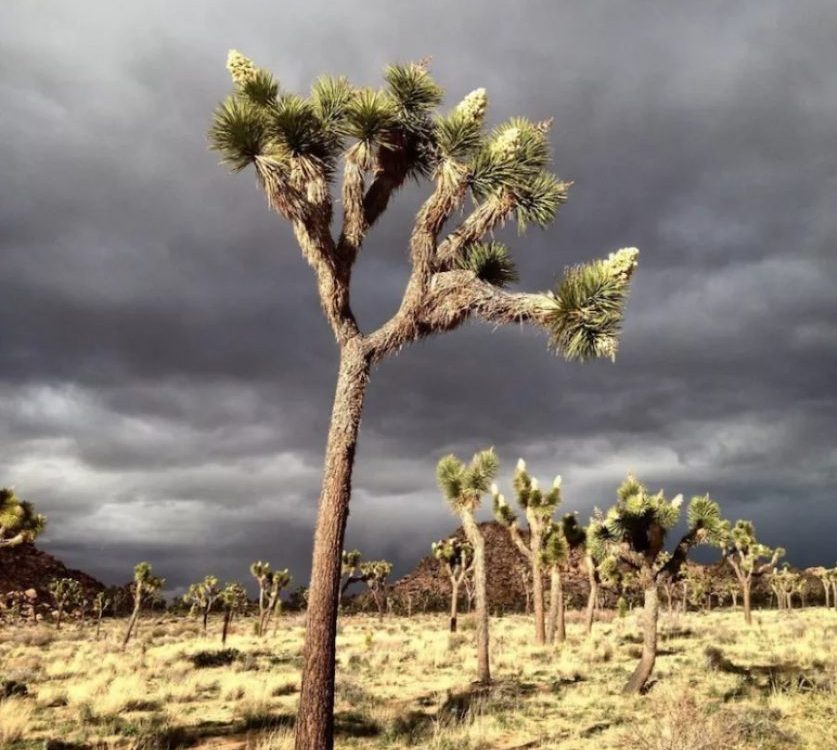 Joshua Tree just before the storm
