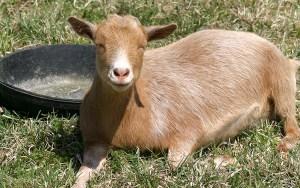 Stella nigerian goat - Purely Wholesome Farm, Loudon, NH