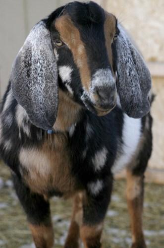 Nubian Goat farm Loudon, NH