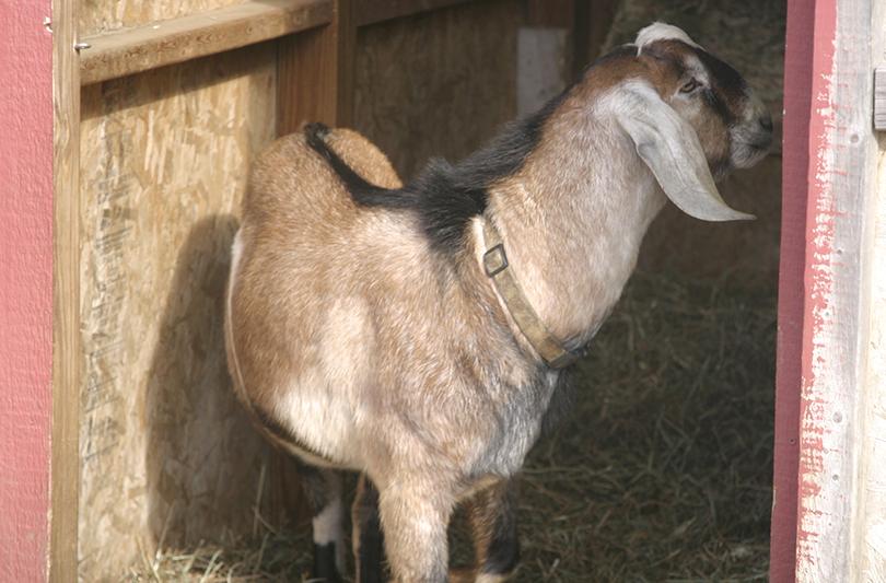 Olli Nubian buck