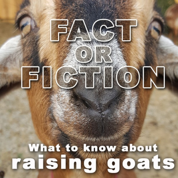 Fact or Fiction – What to know about raising goats.