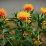 攝取紅花有什麼好處?紅花的5個功效與副作用