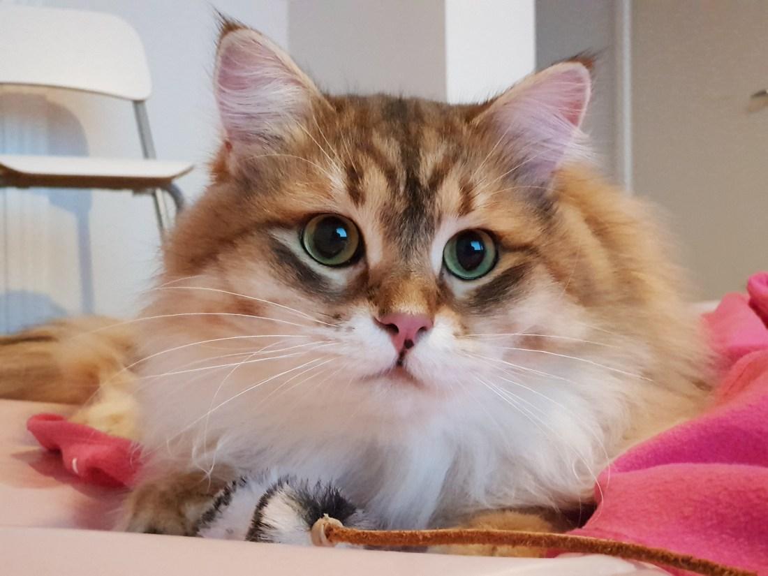 lyydi, siperiankissa, kissanpentu, pentuja, 2019, rotukissa, siberiancat, kitten