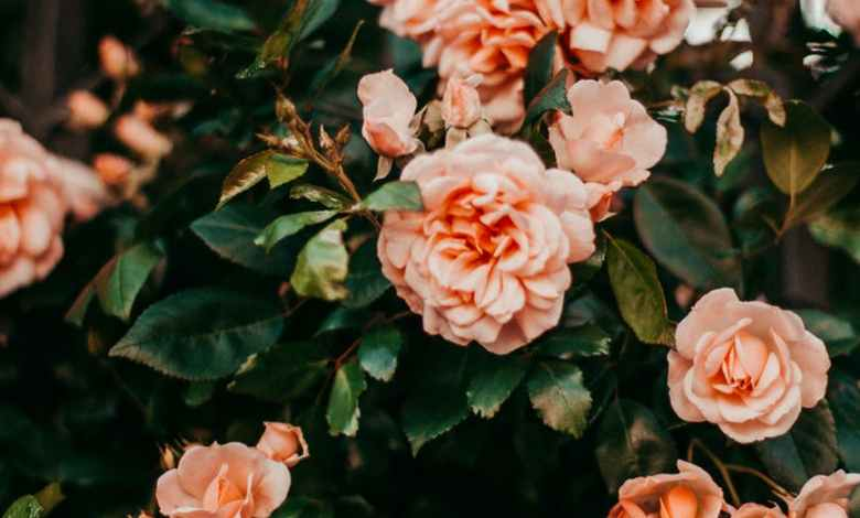 Photo of Planting and Growing Roses in your Home Garden