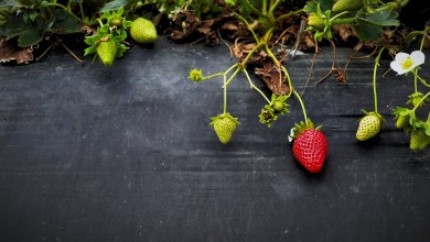 Photo of How to Grow Perfect Strawberries this Season
