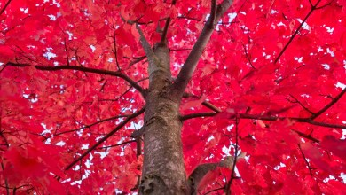 Photo of How to Care for Red Maple Trees