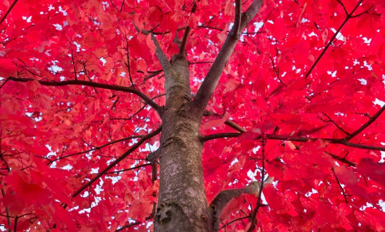 How to Care for Red Maple Trees