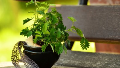 Photo of Sensitive Plant Care: Growing the Mimosa Pudica