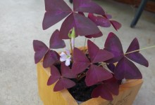 Photo of How to Grow Purple Shamrock (Black Oxalis Triangularis)