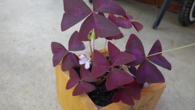 Photo of How to Grow Purple Shamrock (Black Oxalis Triangularis)