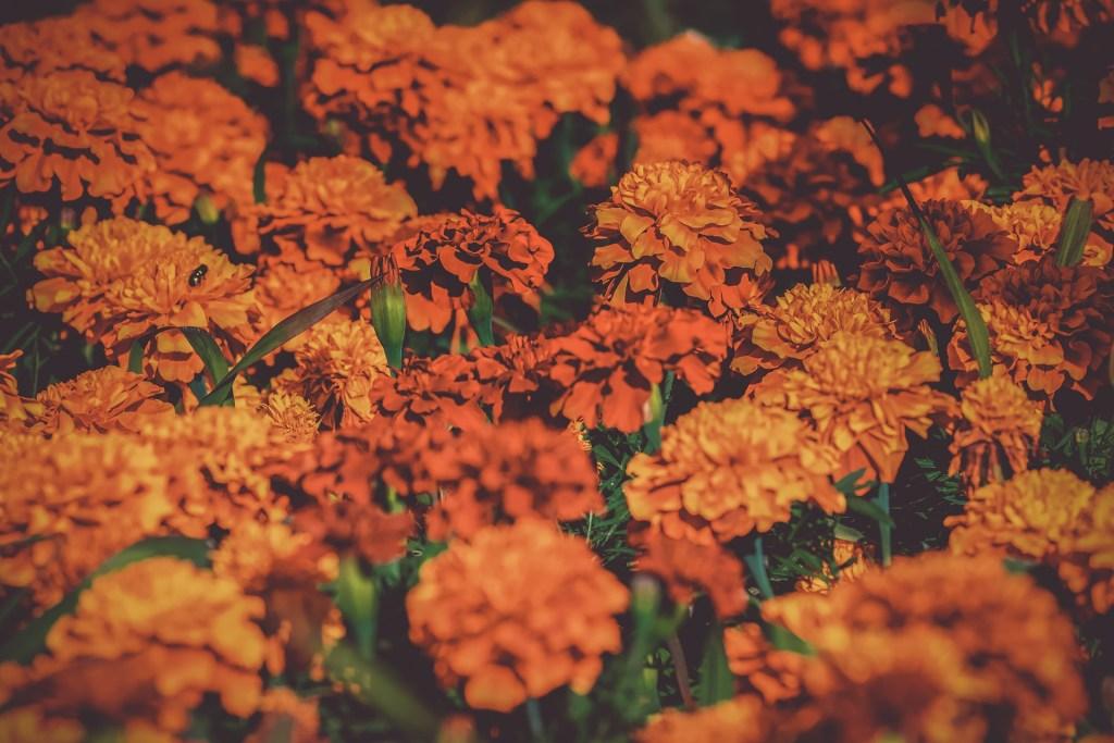 Marigolds snake repellent plants