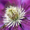 photo - macro purple clematis.jpg