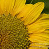 photo - sunflower with raindrops