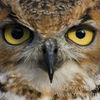 photo - owls eyes