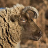 photo - sheep