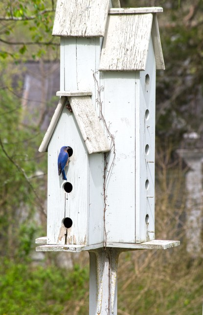 bluebird on house_sm