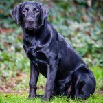 Zwarte Labrador Teef Nova