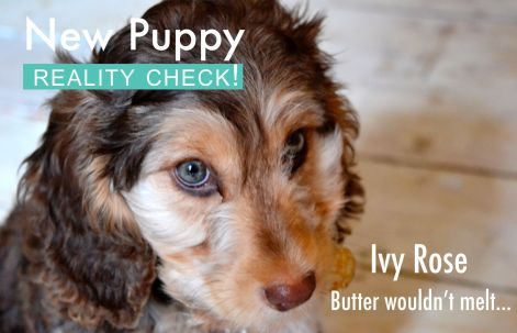 New puppy - reality check 1.jpg