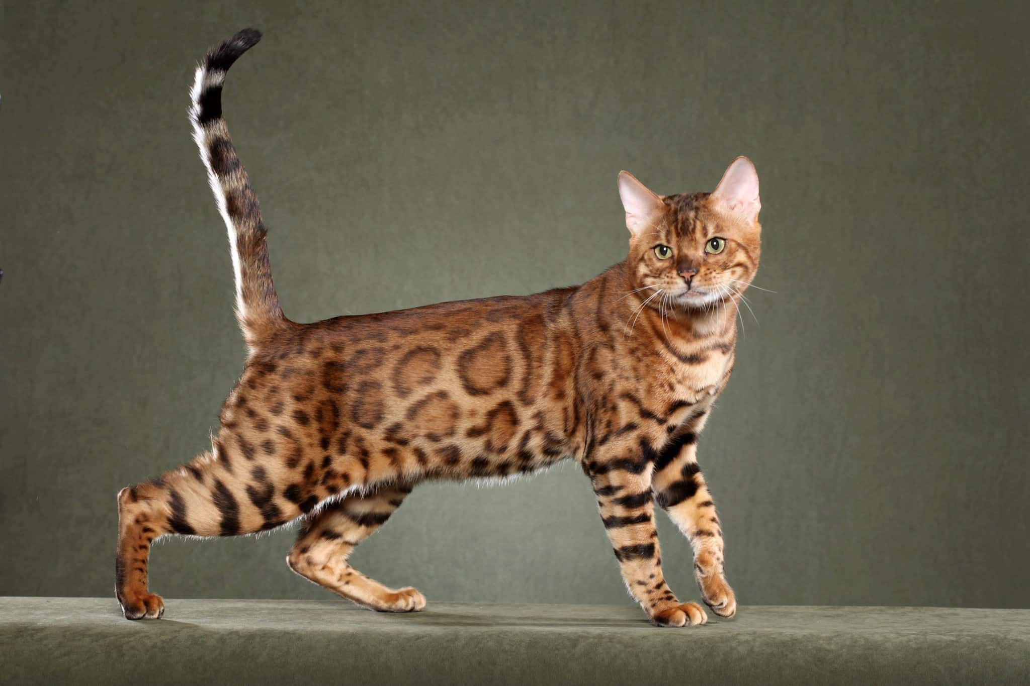 leopard cats for sale in pahrump