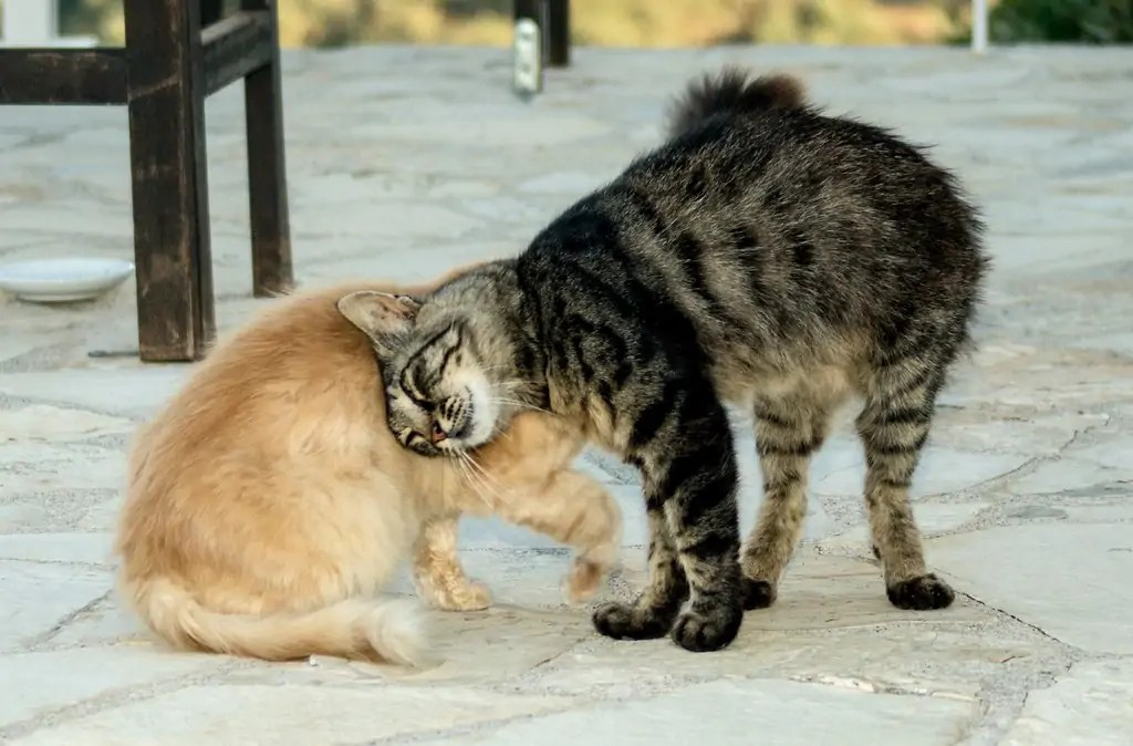 Cat Headbutting