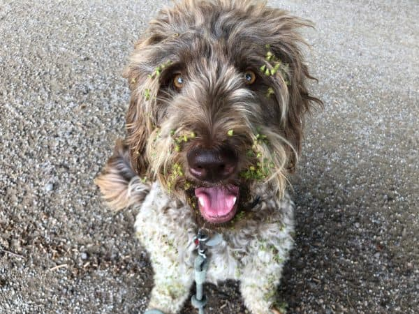 How To Remove Burrs From Pets