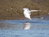 IMG_8464 bh gull (Custom)