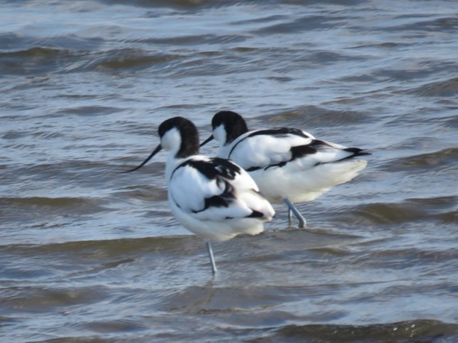 IMG_9672 Avocets (Custom)