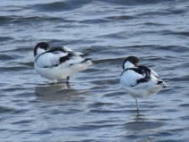 IMG_9673 Avocets (Custom)
