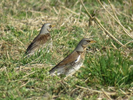 IMG_9712 Fieldfares (Custom)