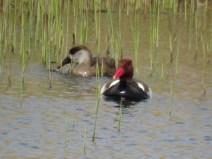 IMG_0603 red crested pochards (Custom)