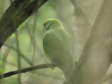 IMG_0659 parakeet