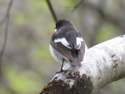 IMG_1827 pied flycatcher