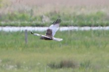 IMG_2054 Marsh harrier
