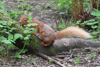 IMG_2075 Red squirell