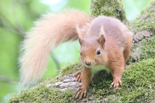 IMG_2087 Red squirell
