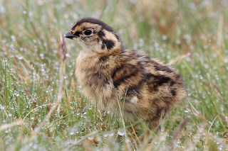 IMG_2180 Red grouse chick